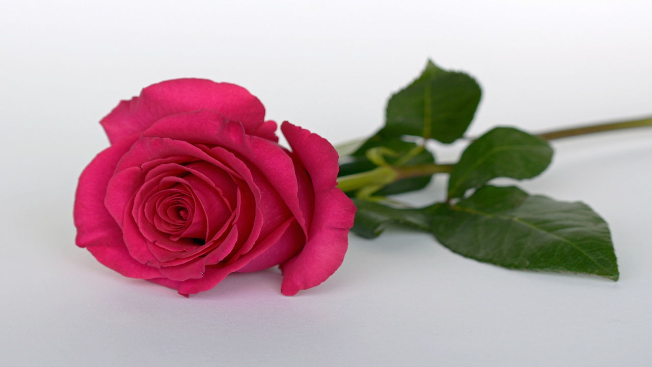 Rose Day Quotes For Lover