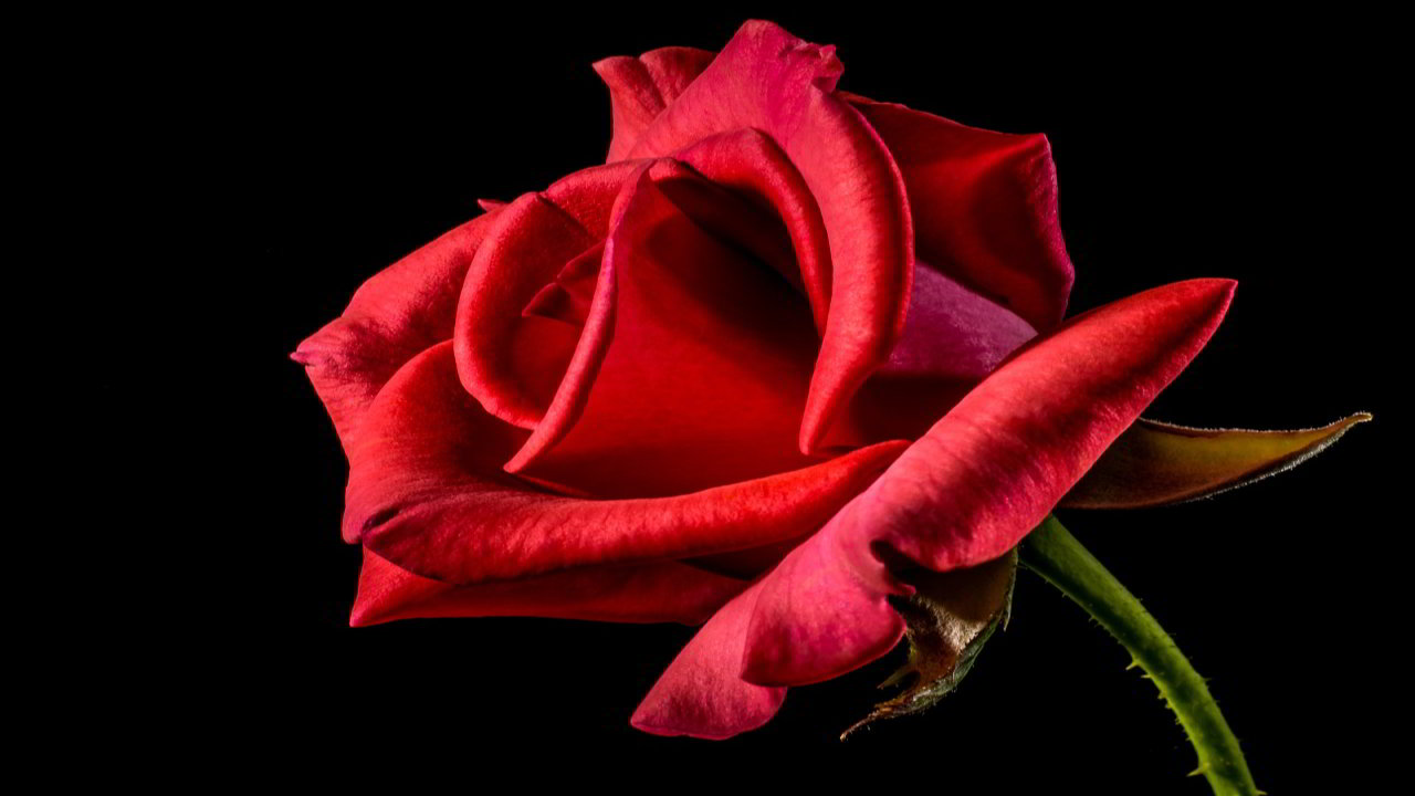 Happy Rose Day Messages 2019