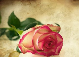 Rose Day Wishes Friends
