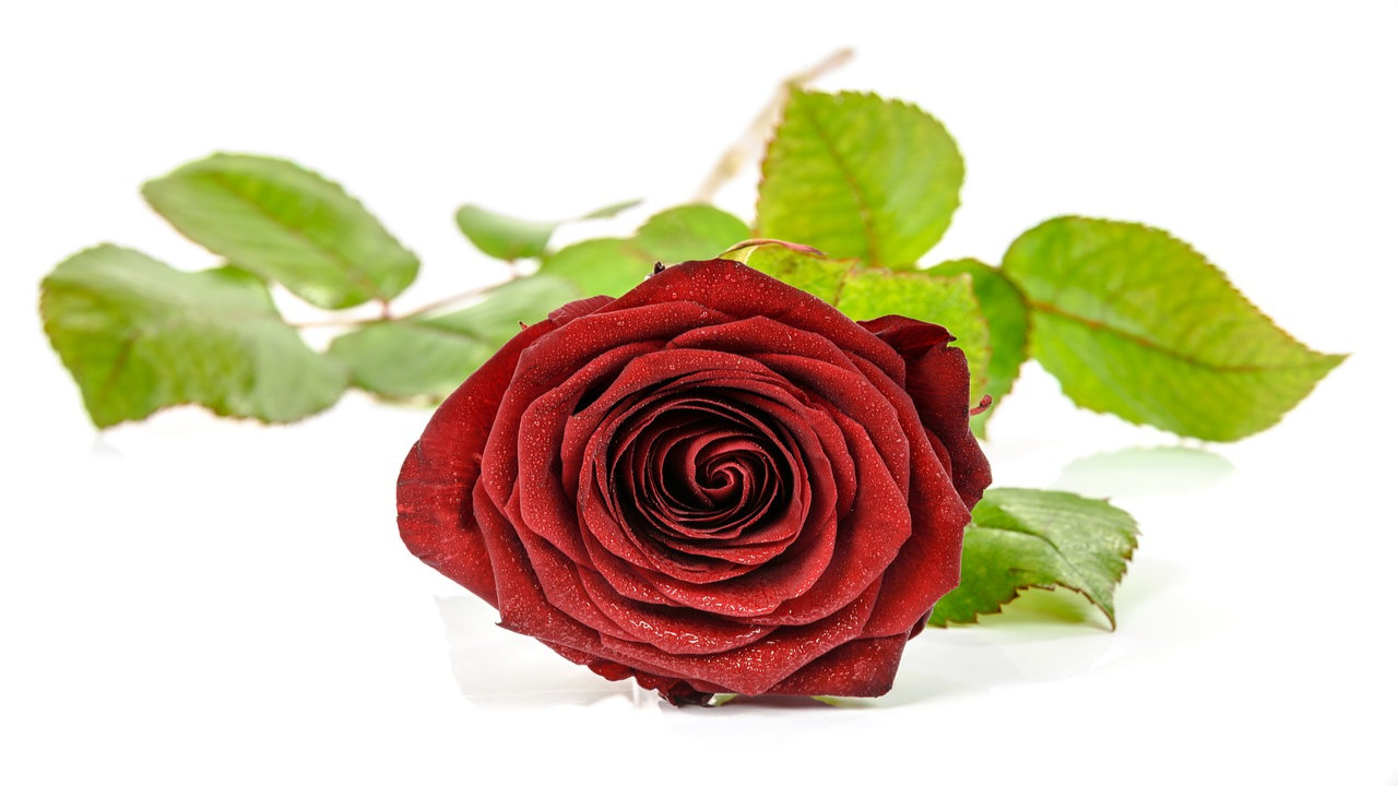 Happy Rose Day Images With Quotes