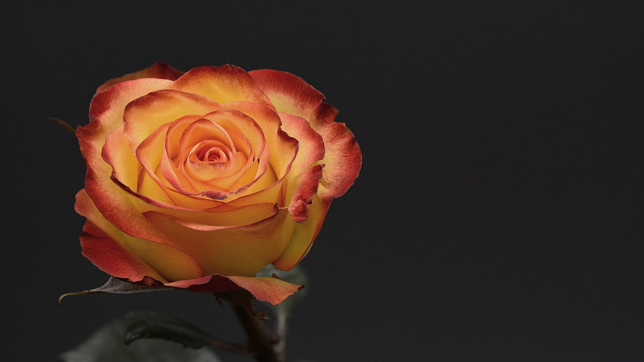 Rose Day Greeting Cards Images